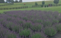 White Oak Lavender Field - Harrisonburg, VA