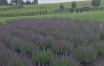 White Oak Lavender Field - Harrisonburg, VA